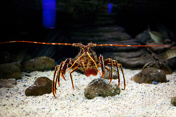 Mediterranean spiny lobster