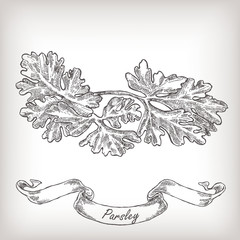 Hand drawn parsley vector illustration.