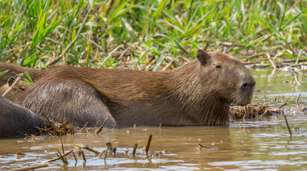 Capybara. Hydrochoerus hydrochaeris