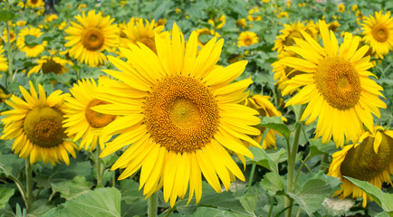 Yellow sunflowers in the field