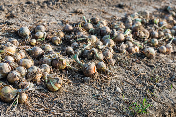 On the field drying onions from close