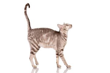 purebred oriental cat
