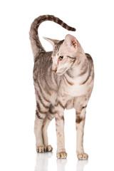 purebred oriental tabby cat