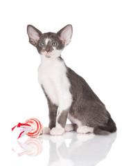 oriental kitten portrait