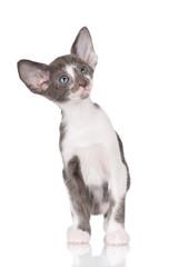 curious oriental kitten