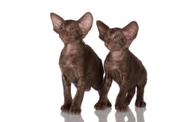 two chocolate brown oriental kittens