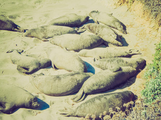 Retro look Elephant seals colony