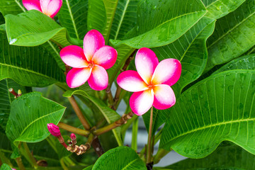 Plumeria red flowers