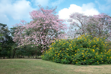 Pink Tabebuia tree and yellow Royal Poinciana with blue sky at t