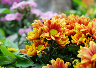 background of beautiful flowers of chrysanthemums