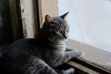 Beautiful grey cat on a windowsill and looking to the window