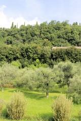 Olive  trees on Garda lake
