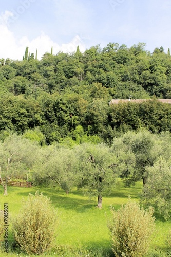 Tuinposter Olijfboom Olive trees on Garda lake
