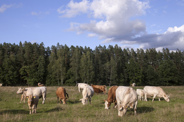 Panorama with cattle