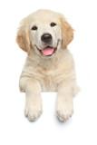 Labrador retriever puppy above banner