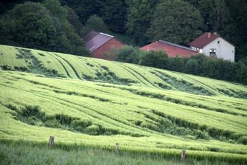 Grünes Kornfeld mit Regenschaden