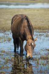 Wild horse eating
