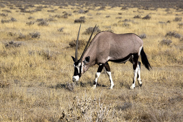 Orix in Namibia