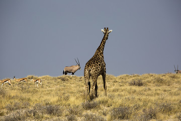 Giraffe in Namibia, Africa