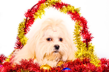 Lhasa Apso Ready for Christmas