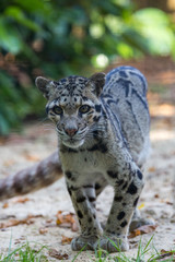 Female Clouded Leopard