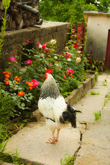 Rooster walking in a country farm