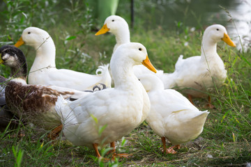 Group of domestic geese