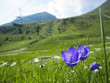 canvas print picture - Campanula alpina by chair lift in the alps
