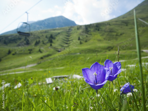 canvas print picture Campanula alpina by chair lift in the alps