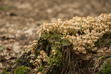 big colony of autumn mushrooms growinf on a dead wood in a fores