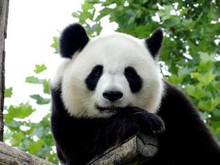 Panda Géant 7