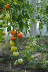 pomidorki dojrzewające