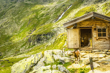 Brown goats in the austrian alps