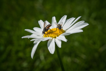 flies pollinating wild flower