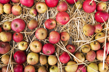 Chest with apples in the straw.