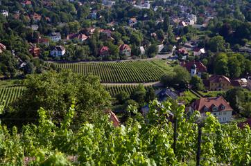 Weinanbau bei Dresden