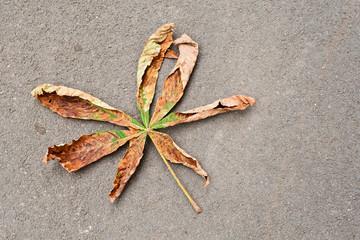 Ein mit dem Pseudomonas-Bakterium befallenes Kastanienblatt