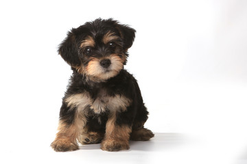 Tiny Miniature Teacup Yorkie Puppy on White Background