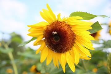 Bine sammelt Honig auf Sonnenblume im Herbst
