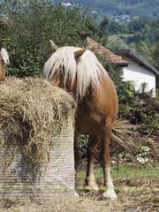 Caballos comiendo en Saboya (Francia)
