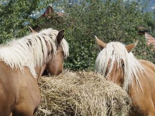 Caballos pastando en Saboya (Francia)