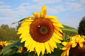 Wunderschönes Herbst Motiv mit Sonnenblume
