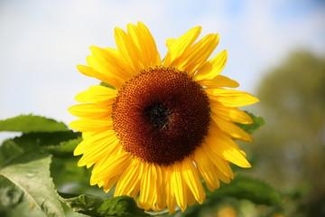 Herbst Motiv mit wunderschöner Sonnenblume