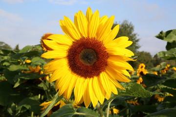 Wunderschöne Sonnenblume im herbstlichen Stadt Park