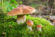 Wild noble mushrooms in forest - 70182258