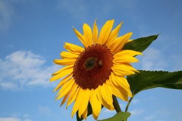 Wunderschöne Sonnenblume mit Binen vor blauen Himmel