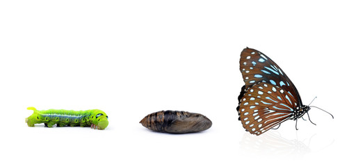 Monarch butterfly emerging from chrysalis, eight stages. Isolate