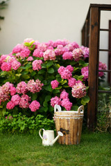 on the green lawn pink hydrangea bush, wooden bucket and waterin