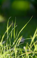 blade of grass in morning light