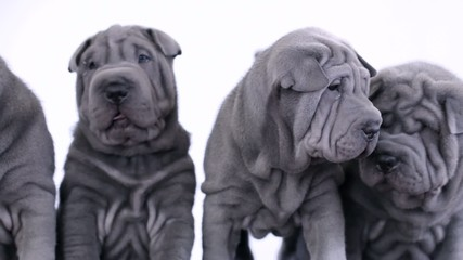 Four Shar Pei Puppies with White Background